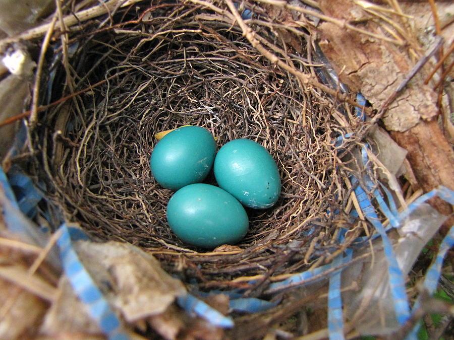 Nest Photograph - Robin Nest by Melissa Parks
