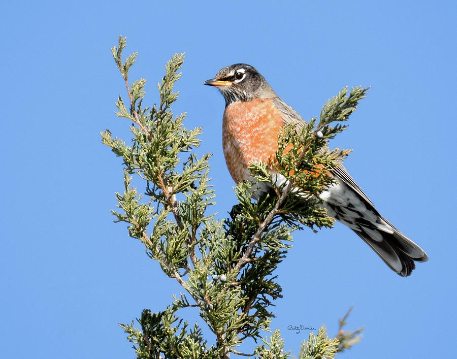 Robin on an Eastern Redcedar Tree by Betty Denise
