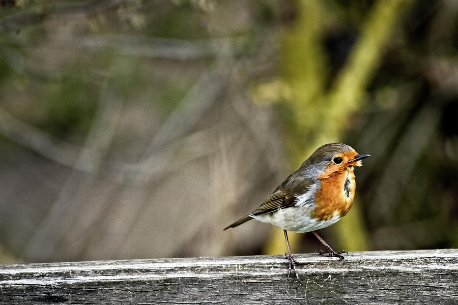 Robin on fence by Cliff Norton