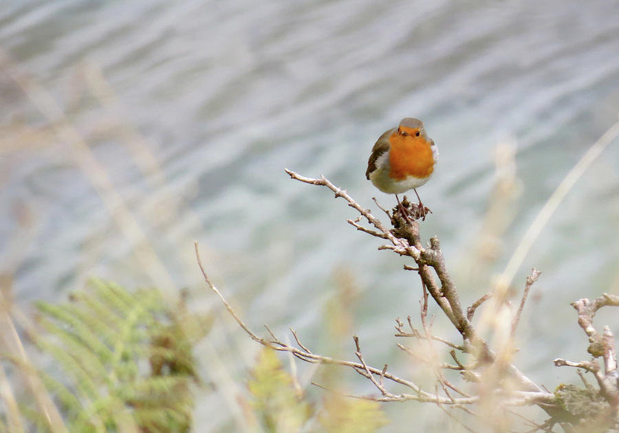 Scotland Photograph - Robin Resting by Azthet Photography