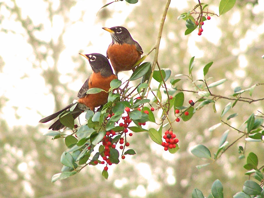 Nature Photograph - Robins In Holly by Peg Urban