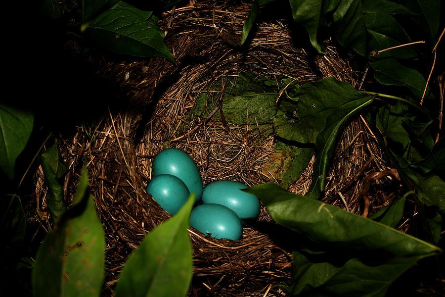 Nature Photograph - Robins Nest by Robert Morin