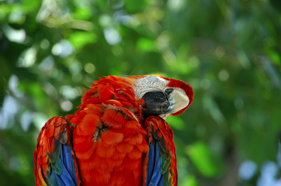 Parrot Photograph - Rock A Bye Birdie by Donna Blackhall