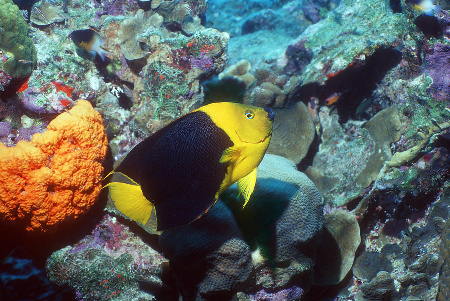 Holacanthus Tricolor Photograph - Rock Beauty Angelfish by Georgette Douwma