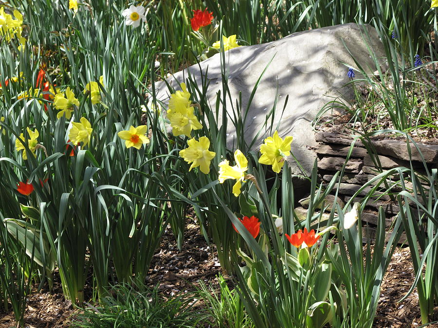 Daffodil Photograph - Rocks And Flowers by Lea Novak
