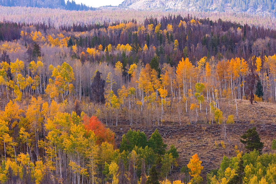 Trees Photograph - Rocky Mountain Autumn View by James BO Insogna