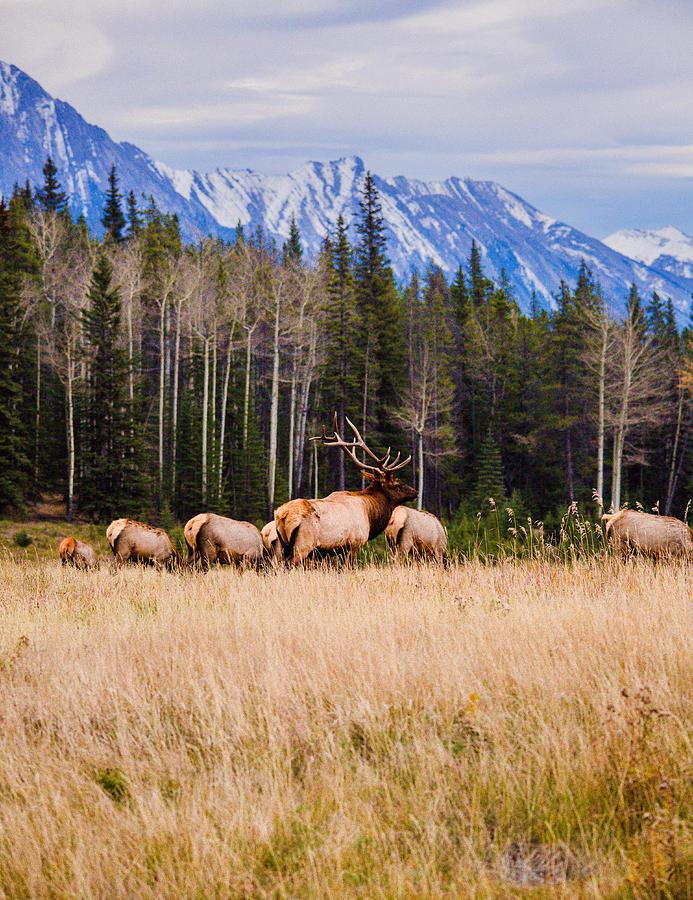 Elk Photograph - Rocky Mountain Elk In The Rockies by Penny Miller
