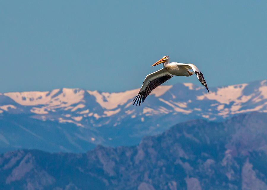 American White Pelican Photograph - Rocky Mountain Pelican by Dawn Key