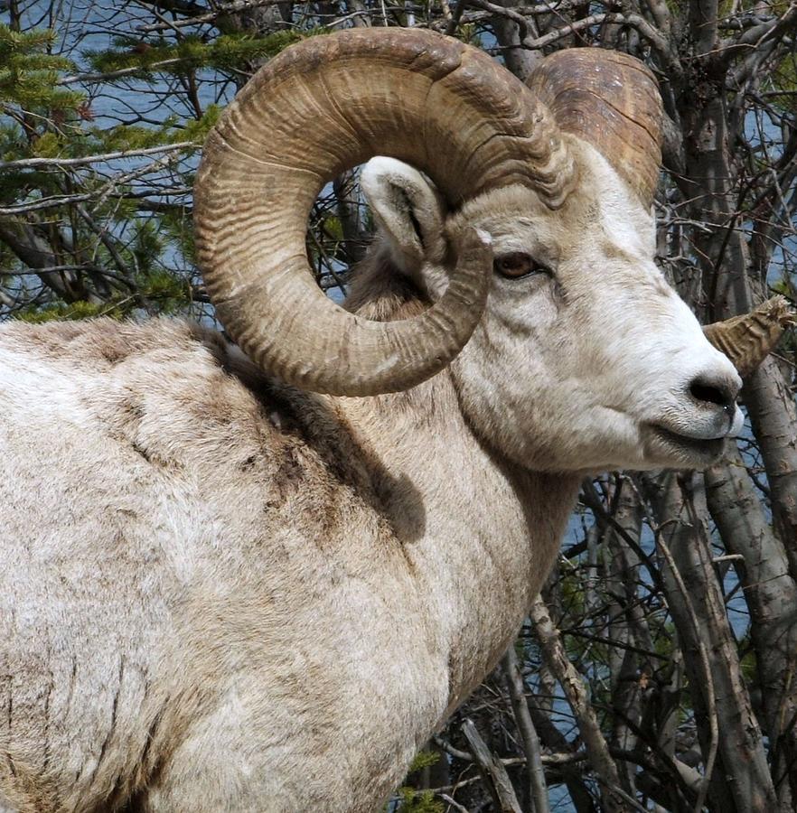 Wildlife Photograph - Rocky Mountain Ram by Tiffany Vest