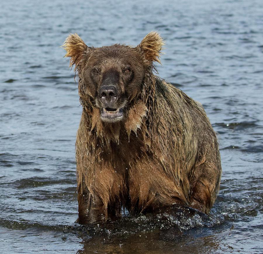 Rogue Bear  by Cheryl Strahl