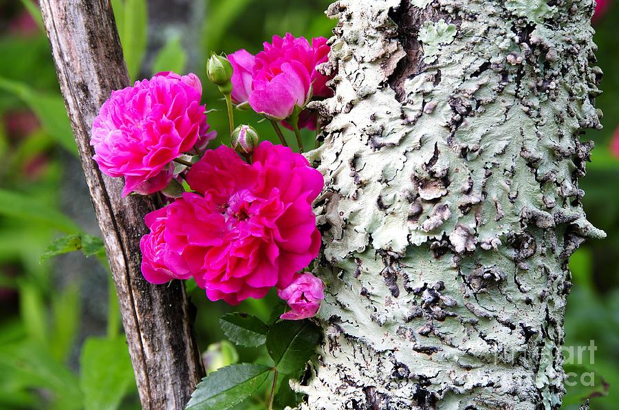 Wild Rose Photograph - Rogue Rose by Thomas R Fletcher