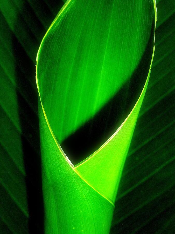 Canna Photograph - Rolled Canna Leaf by Beth Akerman