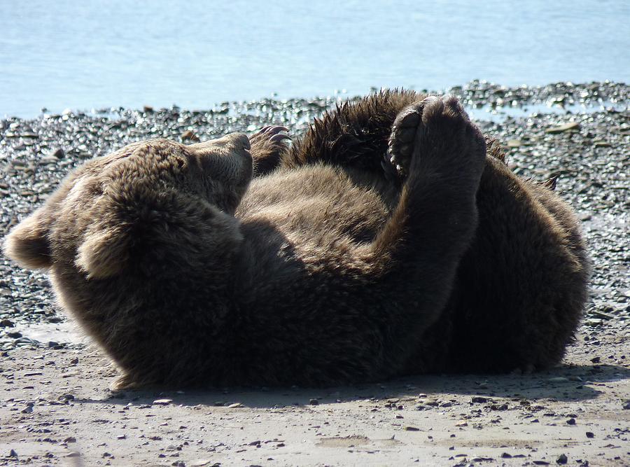 Bears Photograph - Rollover Beartoven by Dawna Raven Sky