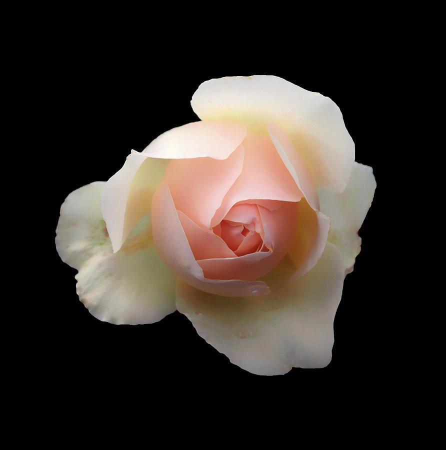 Romantic Pale Pink Rose Photograph By Philip Openshaw