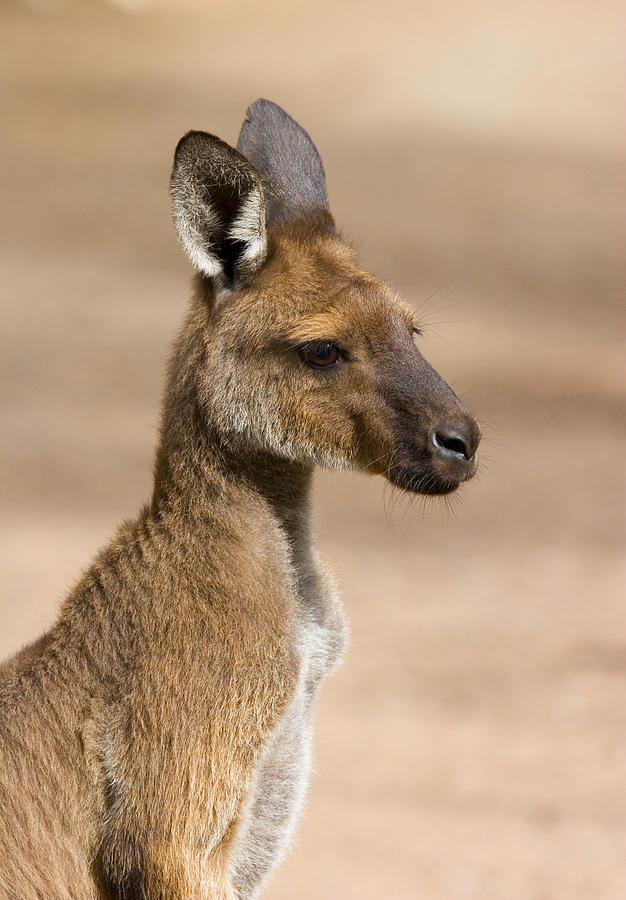 Kangeroo Photograph - Roo Portrait by Mike  Dawson