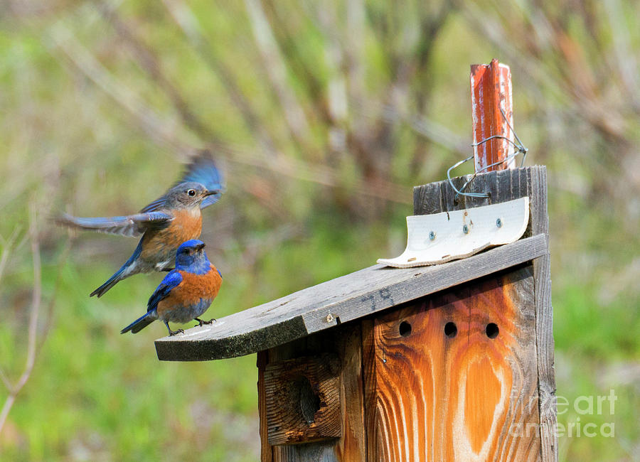 Bluebirds Photograph - Rooftop Landing by Mike Dawson