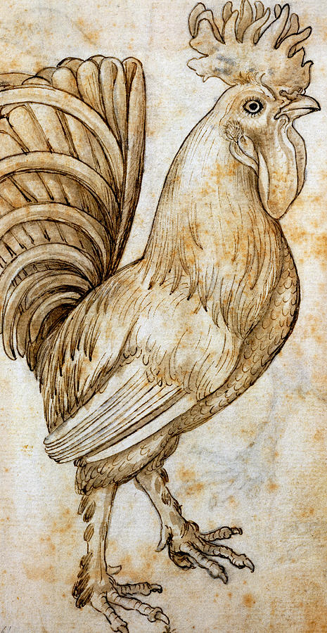 Animal Studies Drawing - Rooster by Leonardo da Vinci