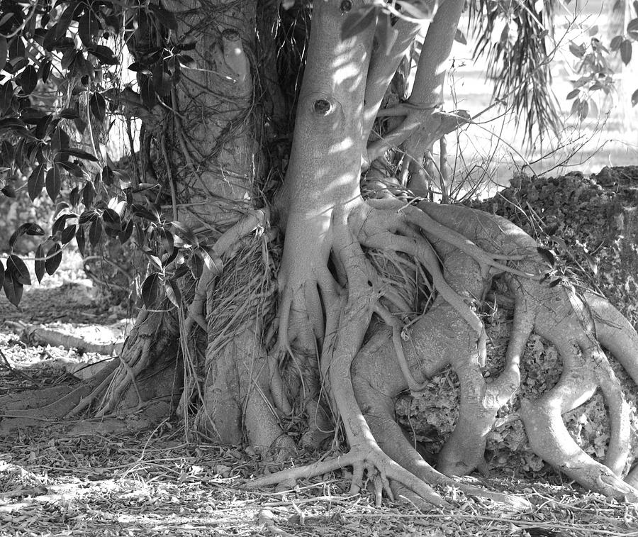 Tree Photograph - Rooted Tree by Rob Hans