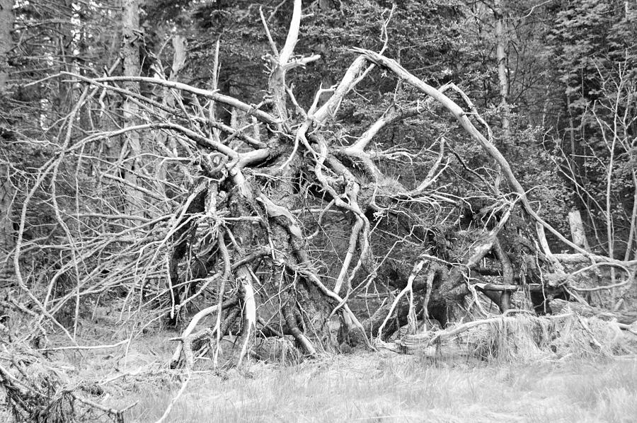 Roots After 60MPH Wind by Lena Hatch