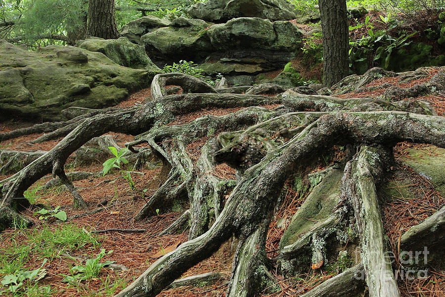 Roots Photograph - Roots On The Forest Floor by E B Schmidt