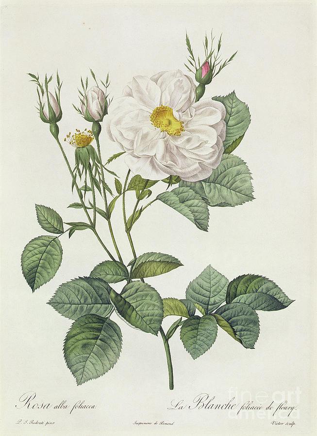Rosa Drawing - Rosa Alba Foliacea by Pierre Joseph Redoute