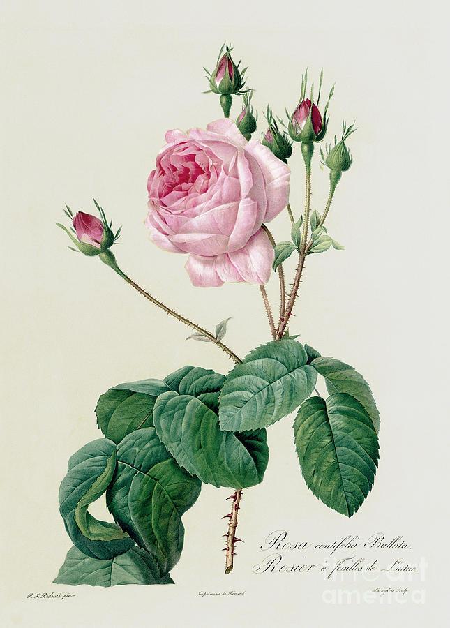 Rosa Drawing - Rosa Centifolia Bullata by Pierre Joseph Redoute