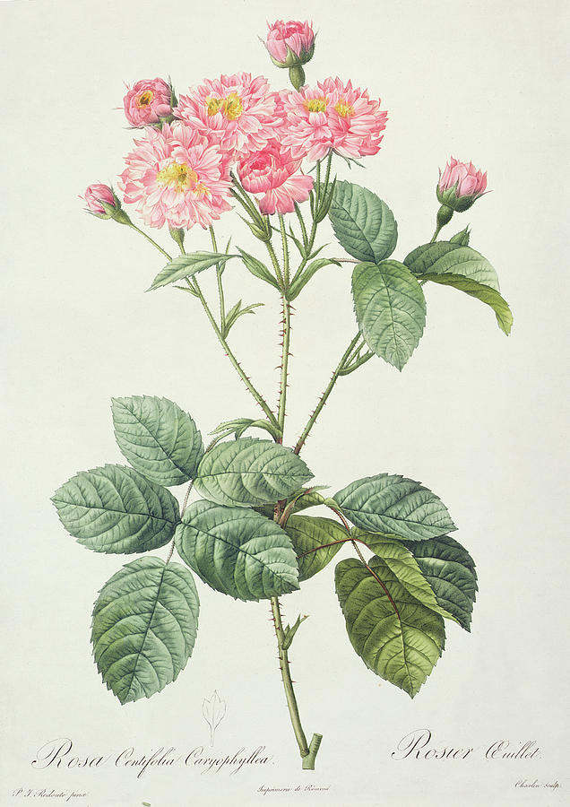 Rosa Drawing - Rosa Centifolia Caryophyllea by Pierre Joseph Redoute