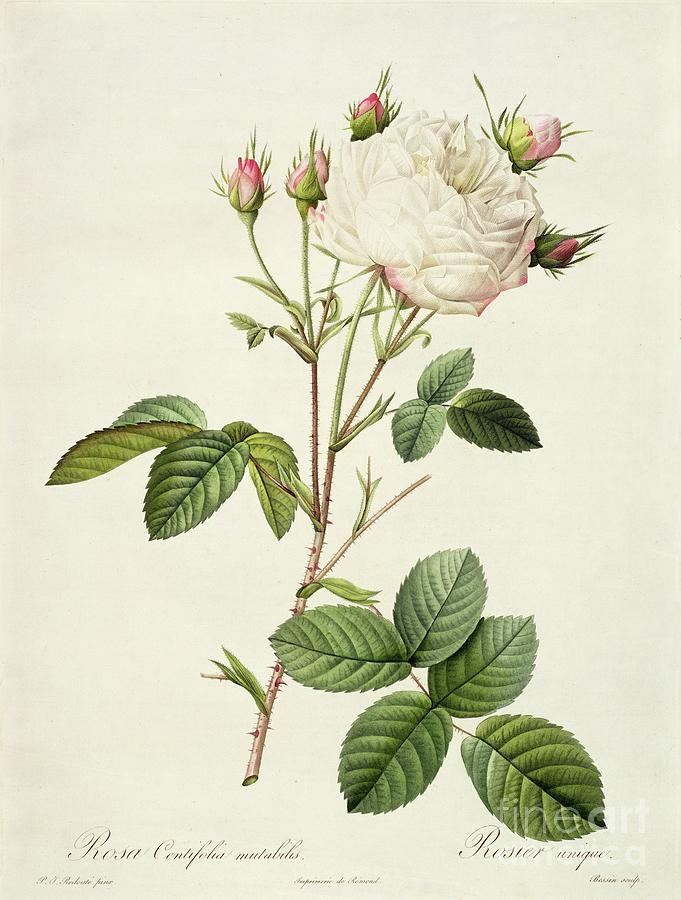 Rosa Drawing - Rosa Centifolia Mutabilis by Pierre Joseph Redoute