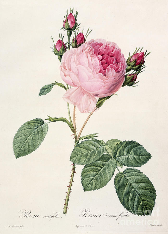 Rosa Drawing - Rosa Centifolia by Pierre Joseph Redoute