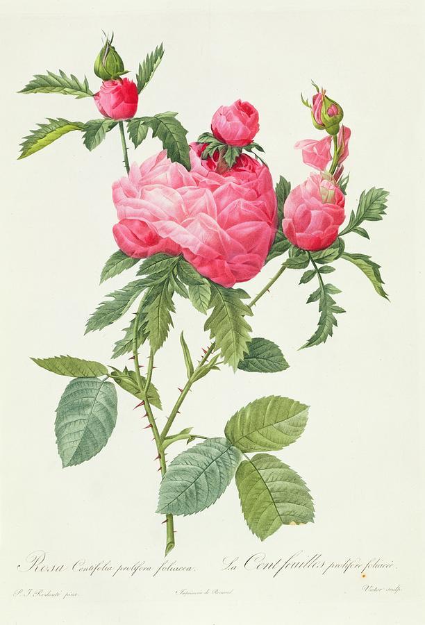 Rosa Drawing - Rosa Centifolia Prolifera Foliacea by Pierre Joseph Redoute