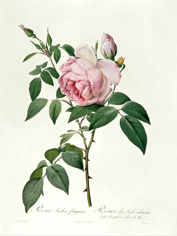 Rosa Drawing - Rosa Chinensis And Rosa Gigantea by Joseph Pierre Redoute