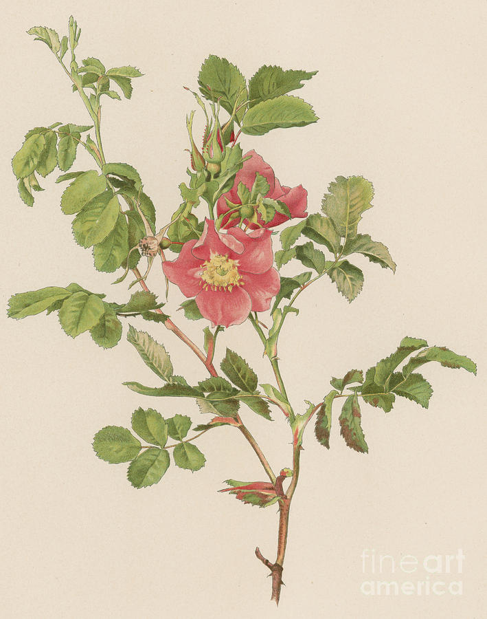 Rosa Cinnamomea Painting - Rosa Cinnamomea The Cinnamon Rose by English School