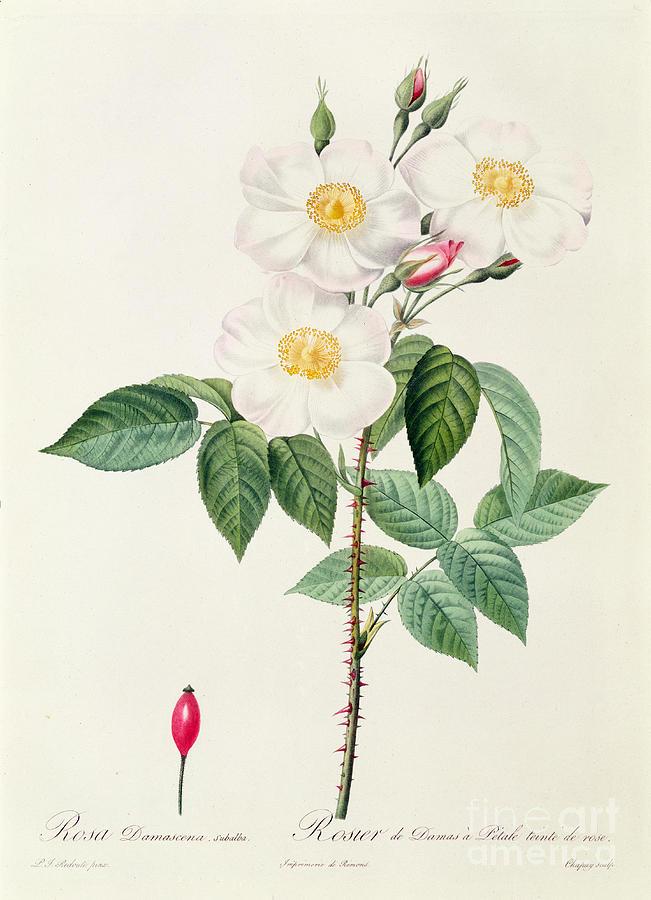 Rosa Drawing - Rosa Damascena Subalba by Pierre Joseph Redoute