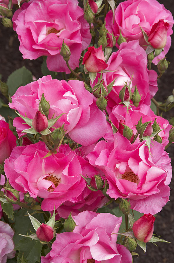 Rosa Photograph - Rosa dancing Pink by Geoff Bryant