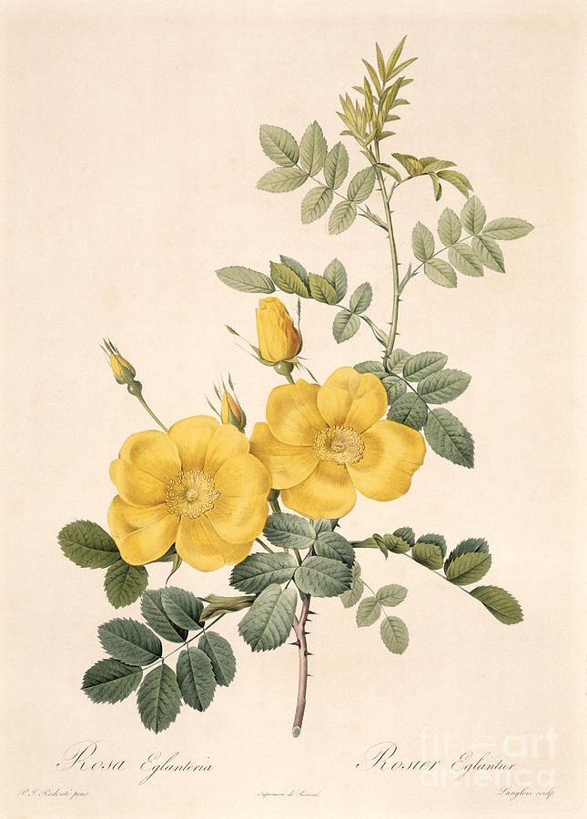 Rosa Drawing - Rosa Eglanteria by Pierre Joseph Redoute