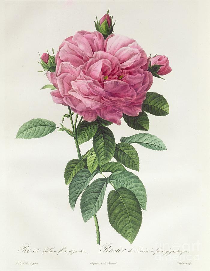 Rosa Drawing - Rosa Gallica Flore Giganteo by Pierre Joseph Redoute