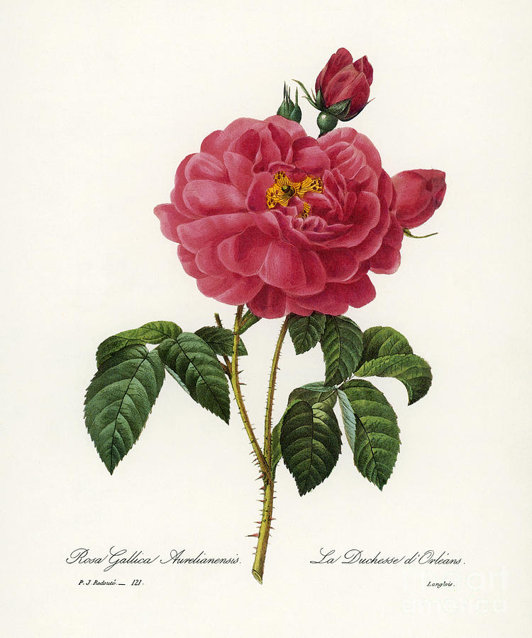 1833 Photograph - Rosa Gallica by Granger