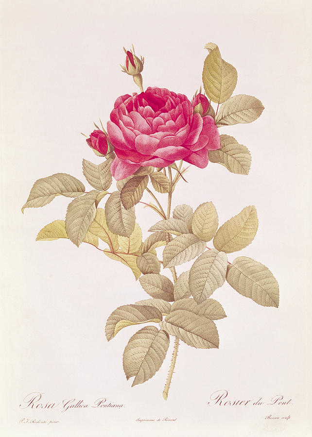 Rosa Drawing - Rosa Gallica Pontiana by Pierre Joseph Redoute