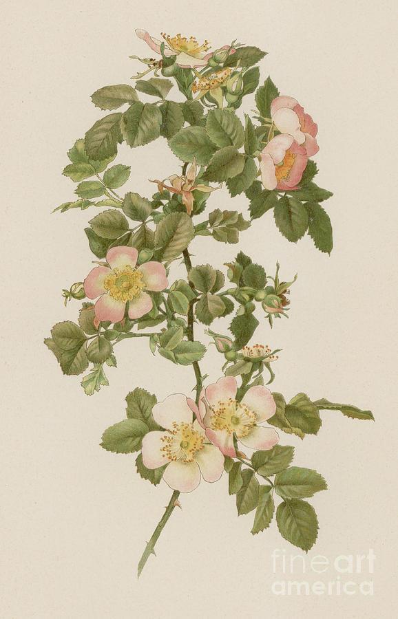 Rose Painting - Rosa Hibernica by English School