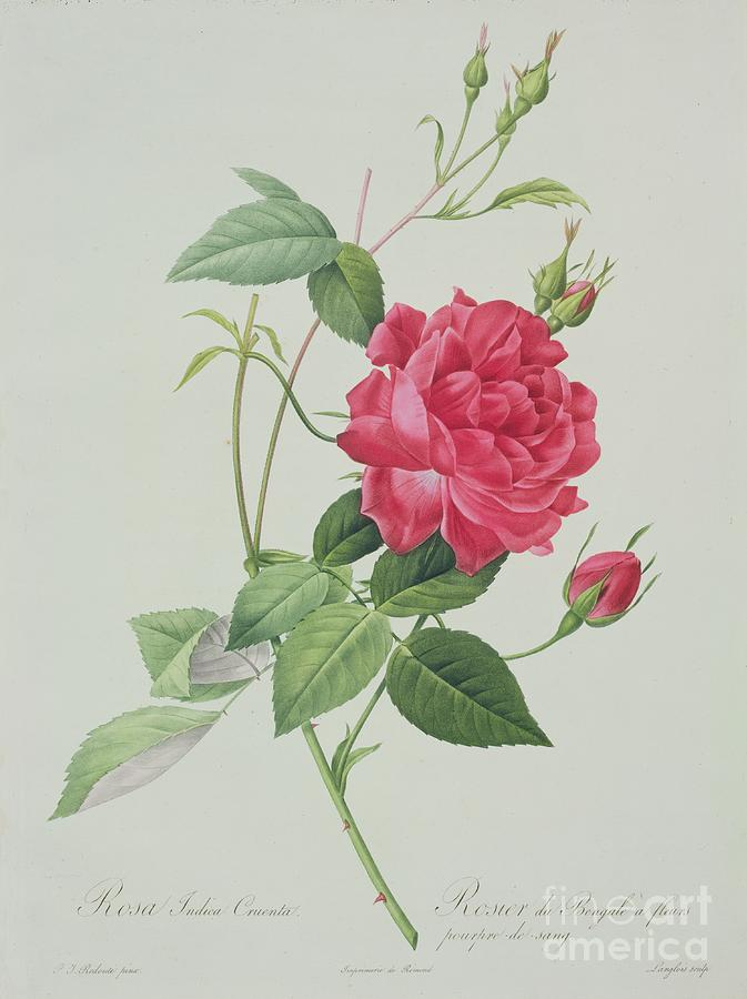 Red Drawing - Rosa Indica Cruenta by Pierre Joseph Redoute