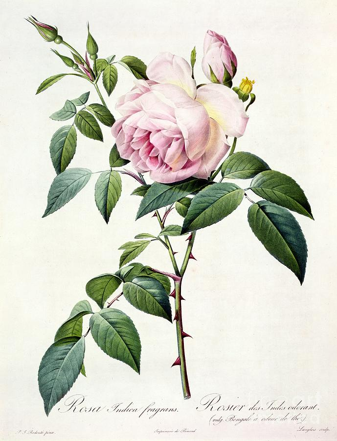 Rosa Drawing - Rosa Indica Fragrans by Pierre Joseph Redoute