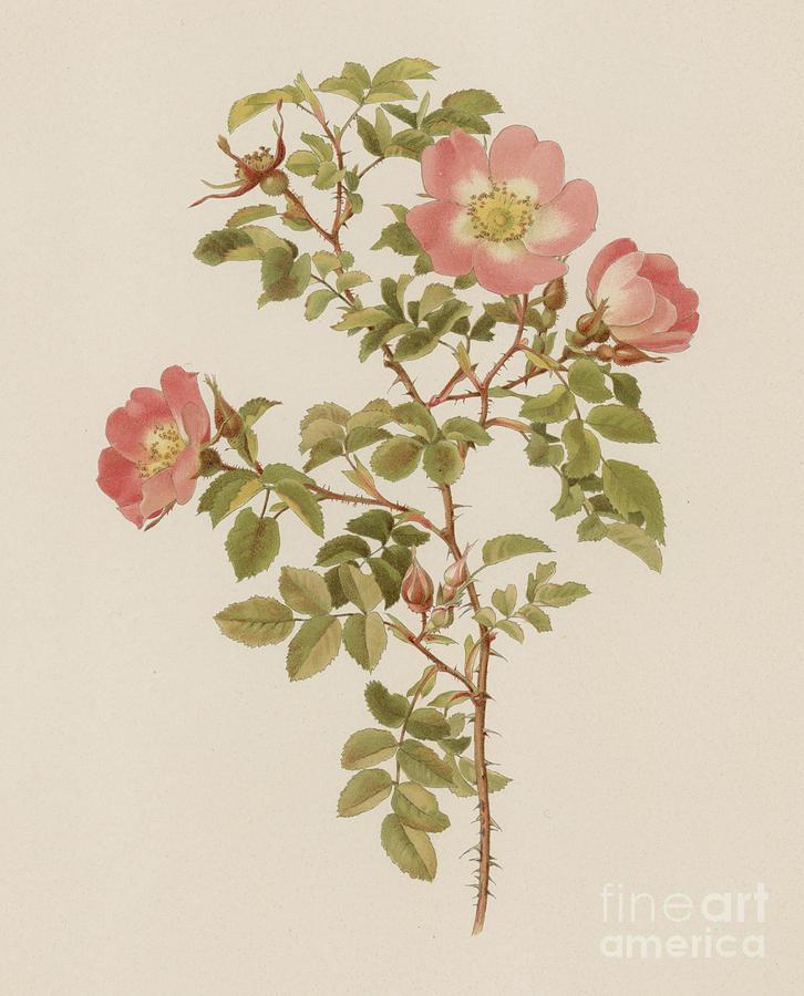 Pink Painting - Rosa Involuta Var Wilsoni by English School