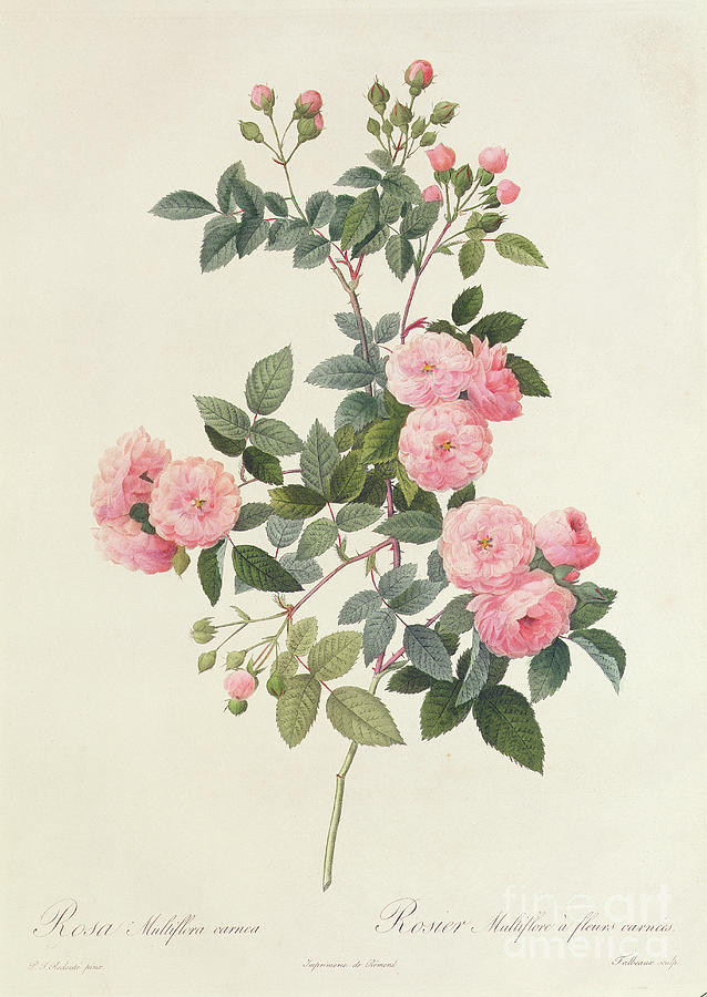 Rosa Drawing - Rosa Multiflora Carnea by Pierre Joseph Redoute