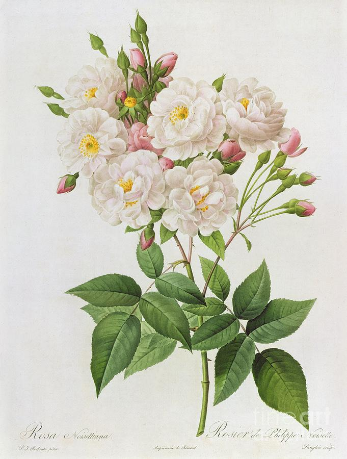Rosa Painting - Rosa Noisettiana by Pierre Joseph Redoute