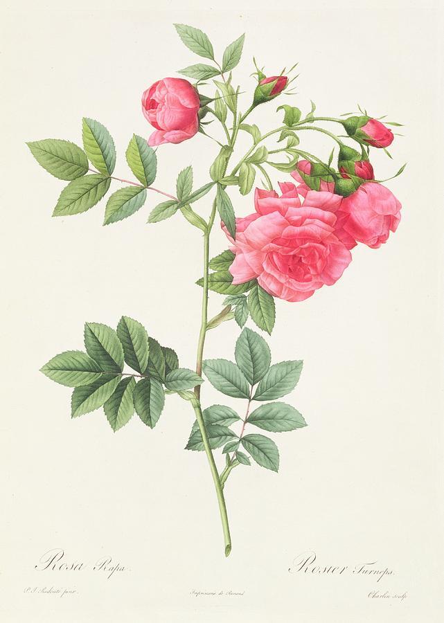 Rosa Drawing - Rosa Pimpinellifolia Flore Variegato  by Pierre Joseph Redoute