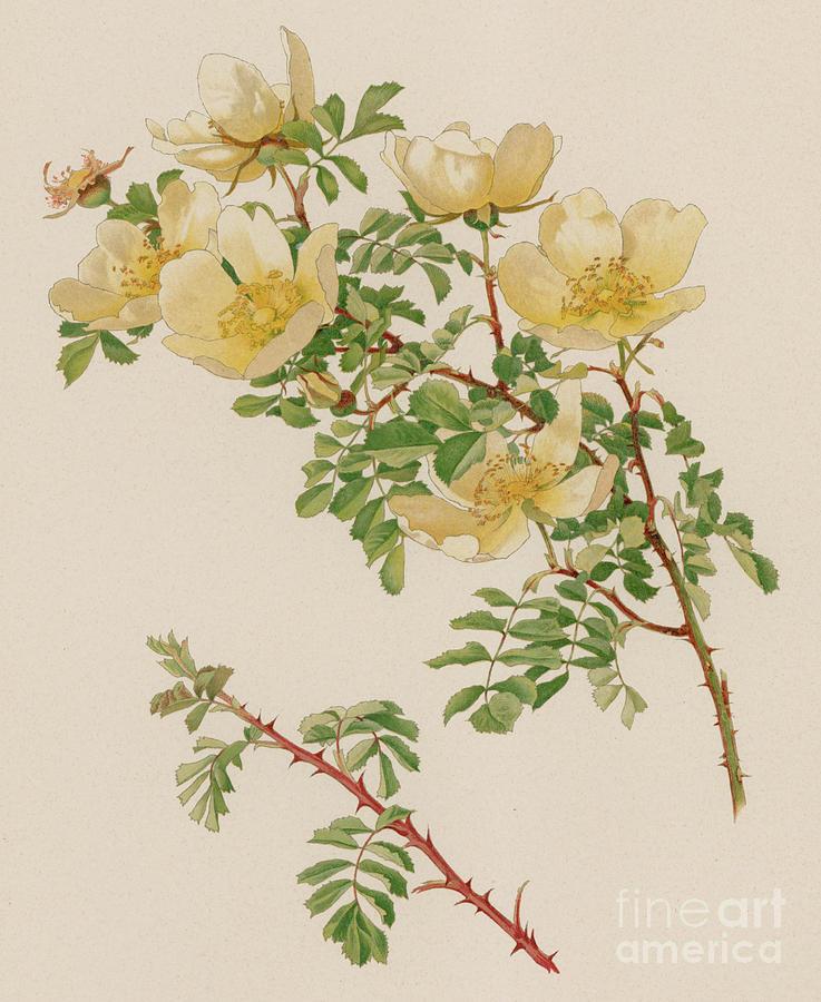 Twig Painting - Rosa Spinosissima Var Hispida by English School