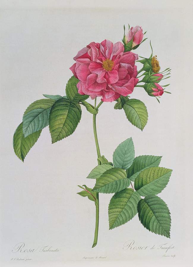 Rosa Drawing - Rosa Turbinata by Pierre Joseph Redoute
