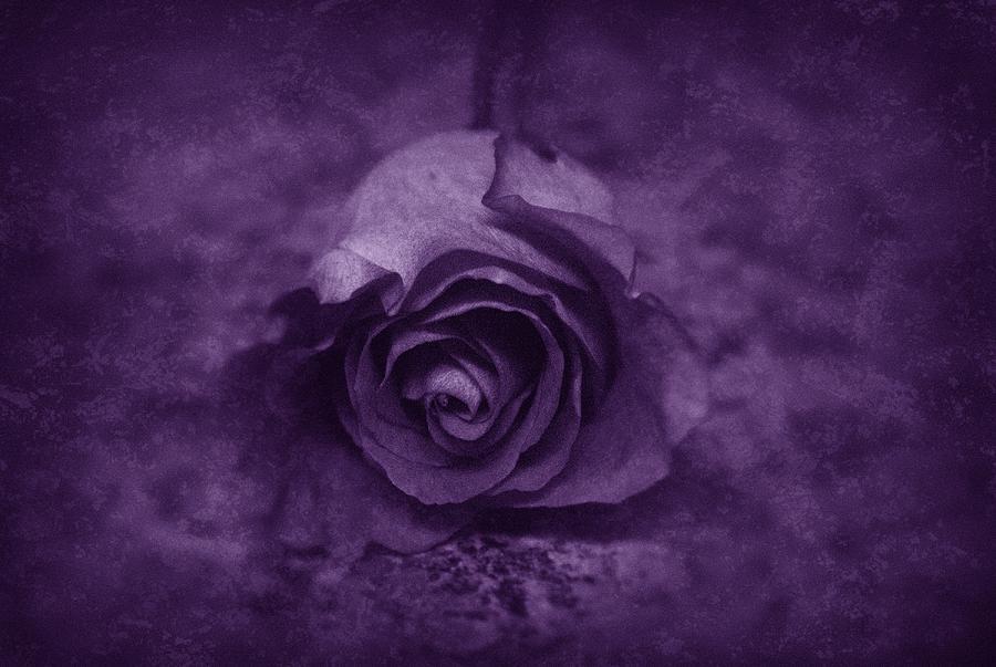 Purple Photograph - Rose - Purple by Angie Tirado