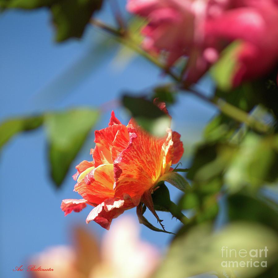 Rose Photograph - Rose 06 by Arik Baltinester
