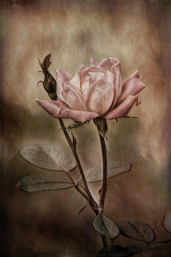 Rose 3 by Patricia Cale